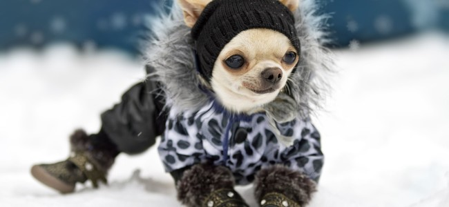 16161510 - chihuahua in hat, coat and shoes standing on the snow